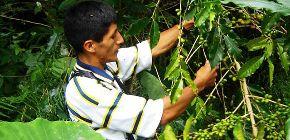 Cientos de hectáreas de café resultaron afectadas por la plaga de roya.