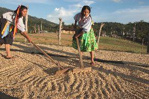 El café que se produce en la región San Martín irá a la búsqueda de mercados en Expoamazónica.