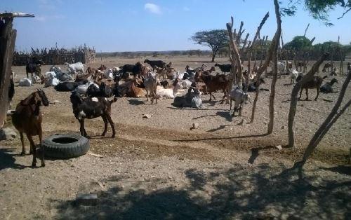 Se incrementa población del ganado caprino en Piura. ANDINA