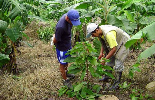 INIA asesorará a los agricultores de Kimbiri en el cultivo de cacao, café y otros productos.