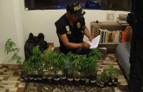 Plantas de marihuana medían entre 13 a 44 centímetros. Foto: Percy Hurtado.