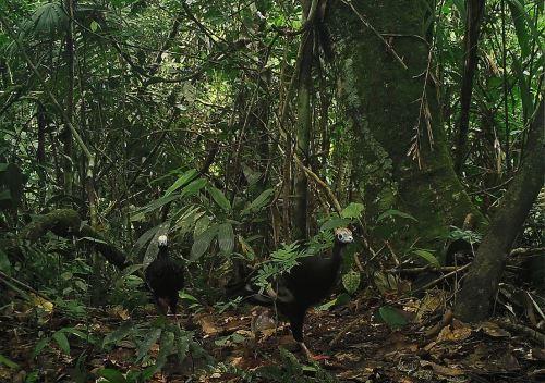 Una variada fauna habita el Parque Nacional Río Abiseo de San Martín.