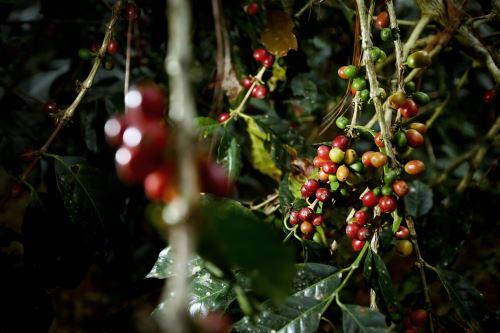 El clima especial de Villa Rica convierte a su café en el mejor del mundo.