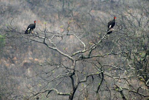 Las condiciones de vida de la pava aliblanca se hallan en Chaparrí y Laquipampa.