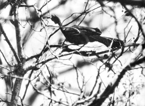 Heinz Plenge fue uno de los primeros en fotografiar la pava aliblanca.