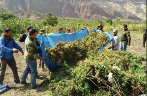 Resultado de imagen para Sayán: Policía decomisa e incinera 287 plantones de marihuana y detiene a sujeto