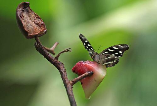 Sperrer advierte que mariposas corren peligro por tala indiscriminada de árboles.