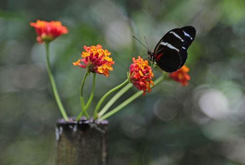 En el Perú existen entre 5,000 a 6,000 especies de mariposas.