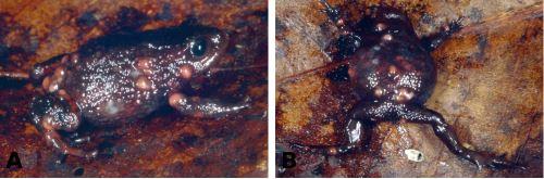 Una de las especies de rana descubierta en el Parque Nacional Río Abiseo.