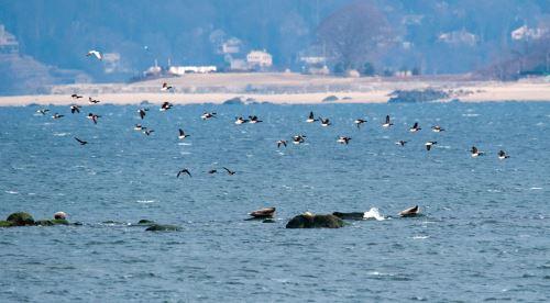 Focas y gaviotas en la bahía de Nueva York