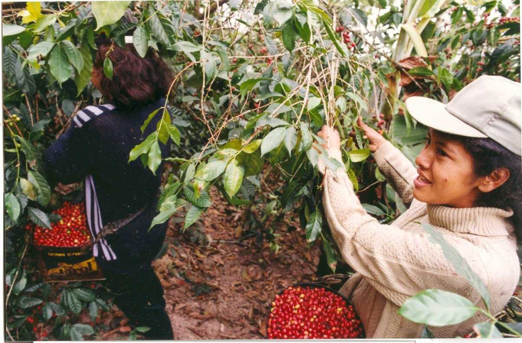 Instalar n viveros para producir plantones de caf for Viveros en lima