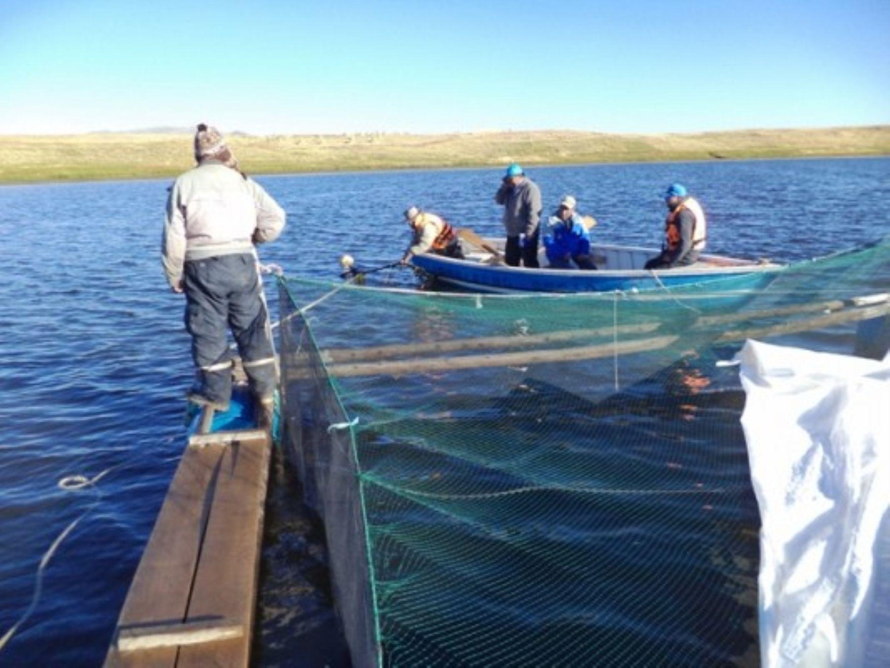 Hoy inauguran en puno m dulos de jaulas flotantes para for Crianza de truchas en lagunas
