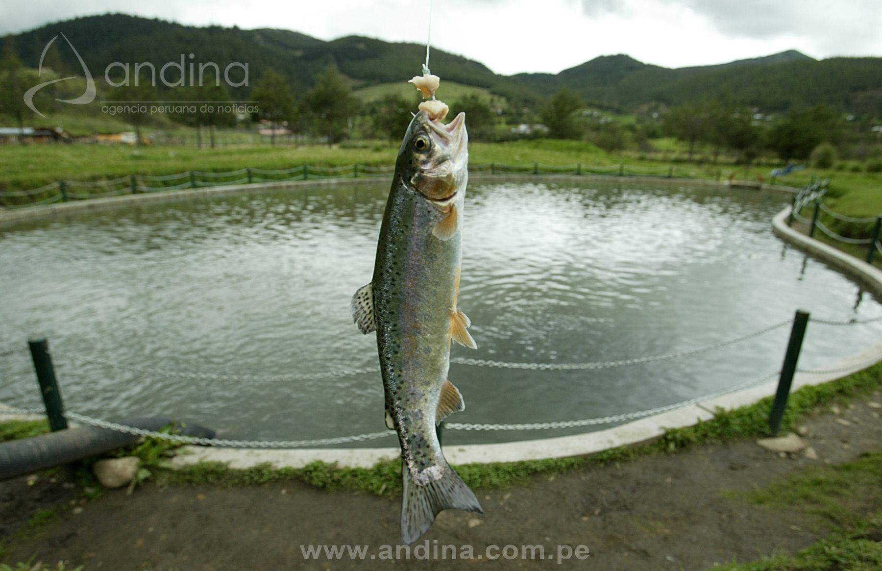 En agosto se inicia crianza de truchas en zona altoandina for Crianza de truchas en estanques