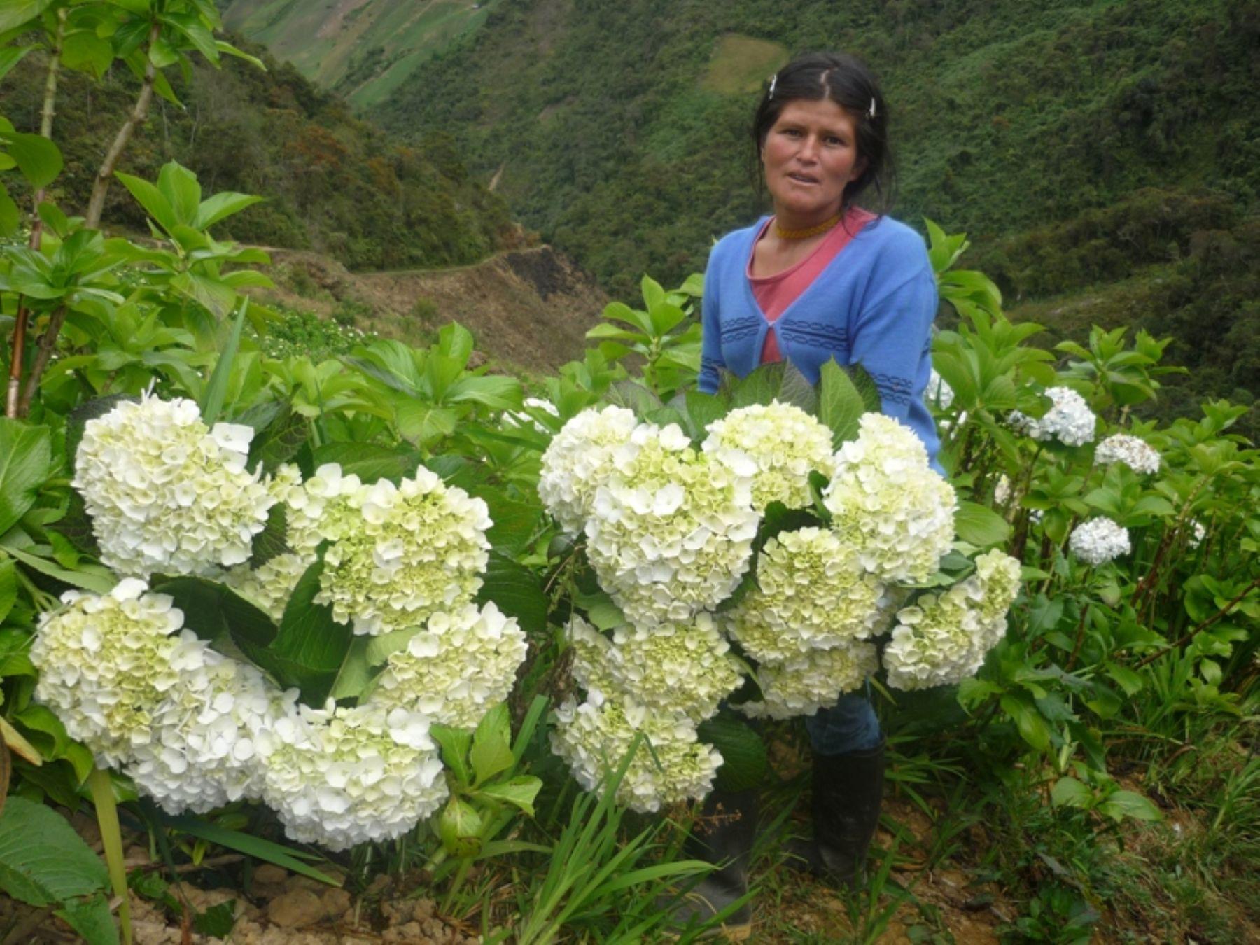 Productores huanuque os exportan 25 mil tallos de for Hortensias cultivo y cuidados
