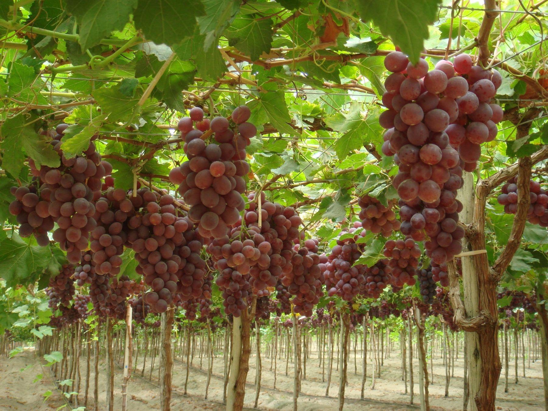 principal exportadora de uva de chile eval a adquirir