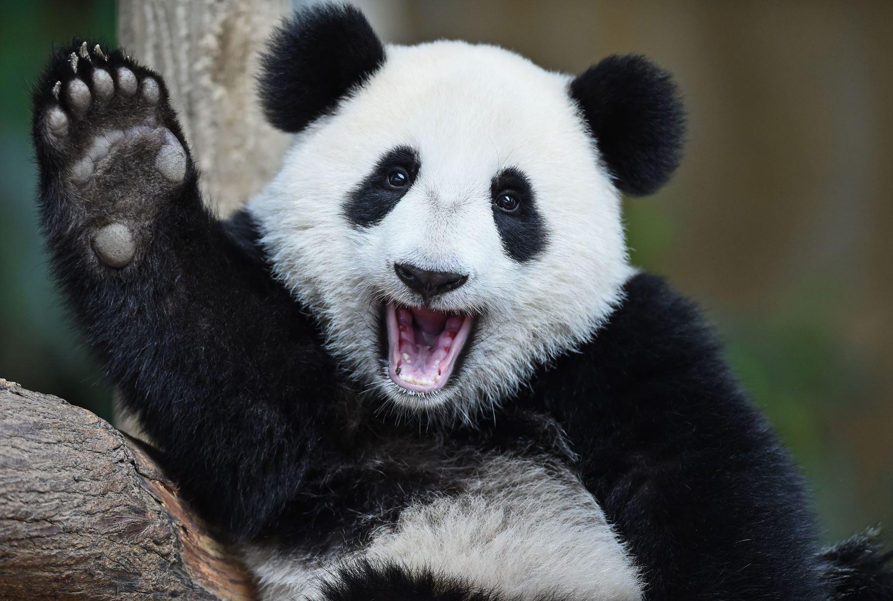 Panda gigante Nuan Nuan cumple un año de edad en el Zoológico Nacional en Kuala Lumpur. Foto:AFP