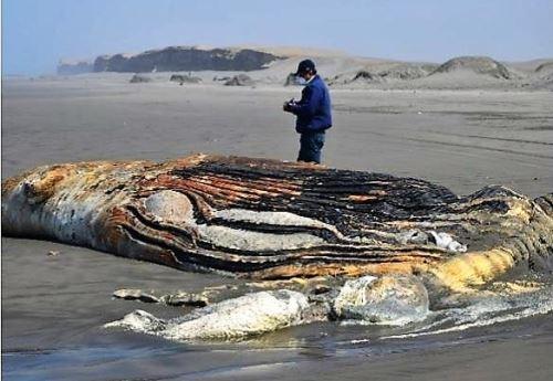 Una ballena jorobada figura entre las 43 especies marinas varadas en el sur del mar de Lambayeque, precisa Imarpe.
