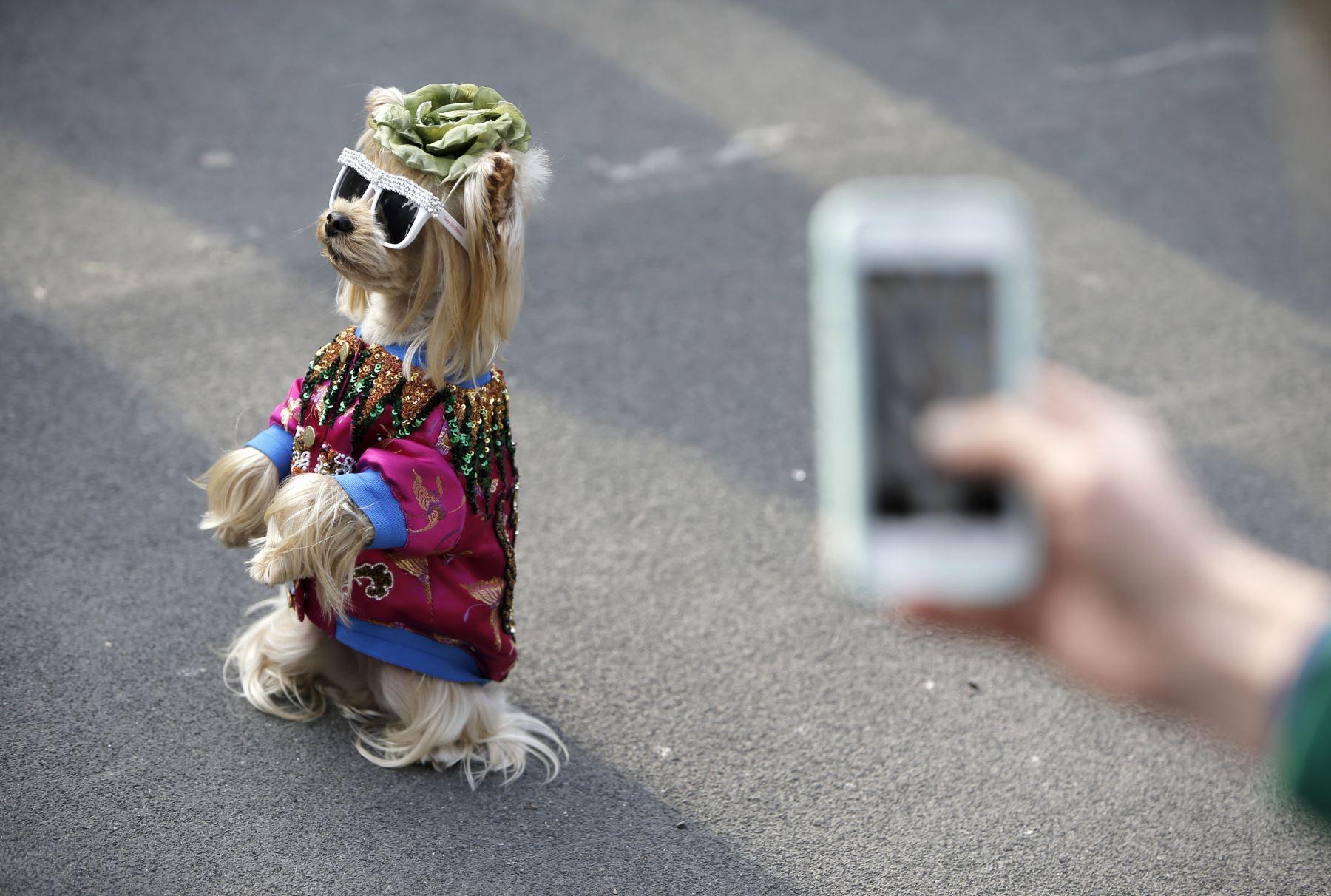 Un perro que lleva gafas de sol camina por las calles de Milán.Foto: AFP