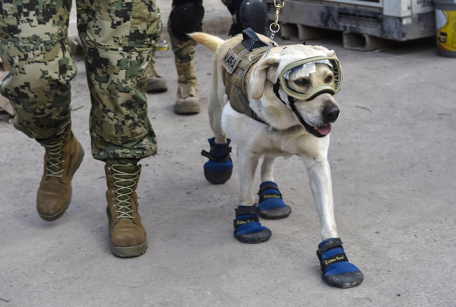 Frida,perro de rescate de la Armada Mexicana, participa en buscar a personas atrapadas en la Ciudad de México.Foto:AFP