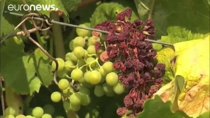 La vendimia Francesa afectada por el clima