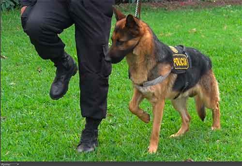 Mascotas PNP: así entrenan para el desfile militar