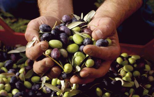 La aceituna es uno de los principales productos agrícolas exportables de Tacna.